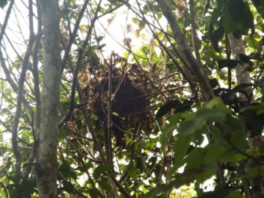 An orangutan nest in Sedahan