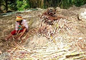 Sugarcane processing