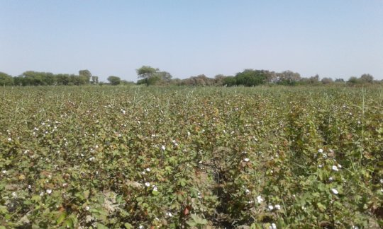Cotton on small scale