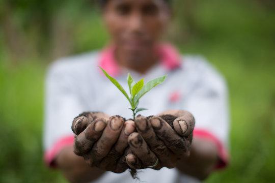 Nicaragua Coffee Plant