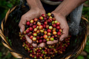 Maria can sell the coffee she grows for cash