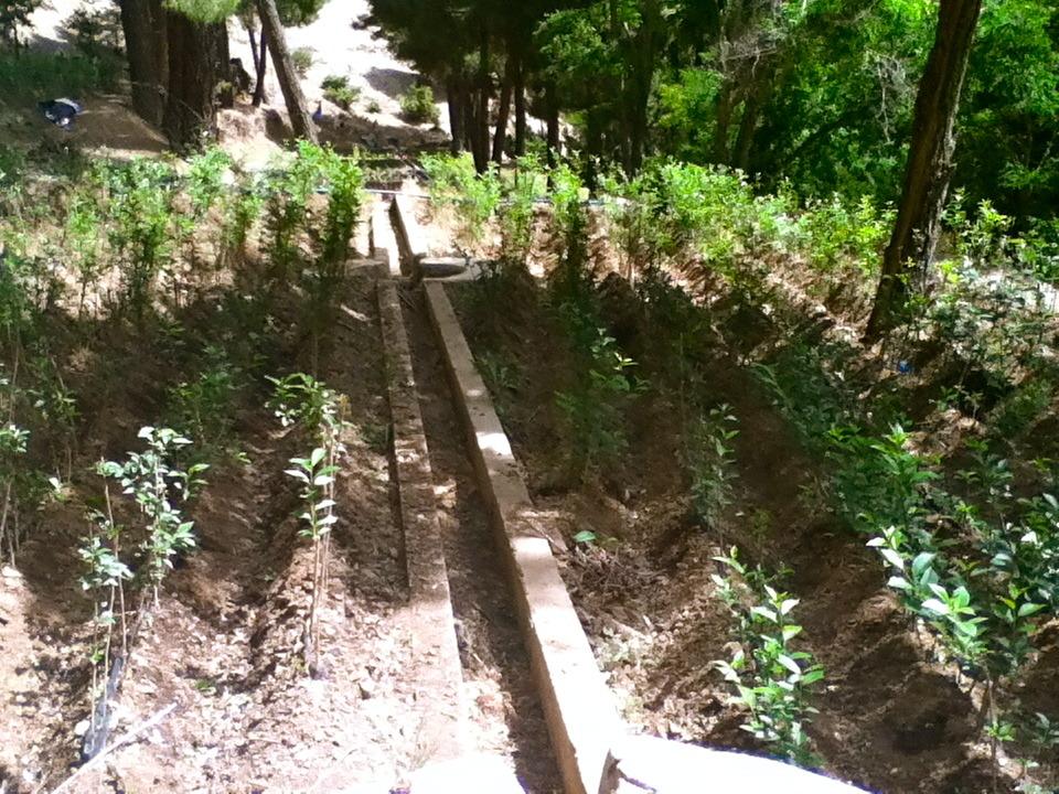 Rows of walnut saplings at the nursery site.