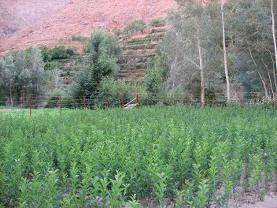 Trees Planted in Tifnoute valley