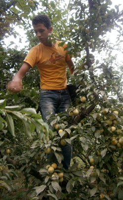 Abdul Karim picking plums to sell in the market.