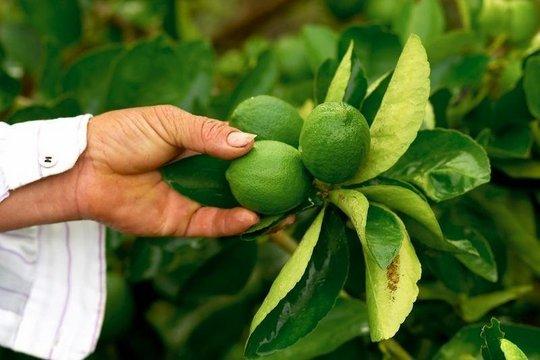 Picking limes in El Salvador