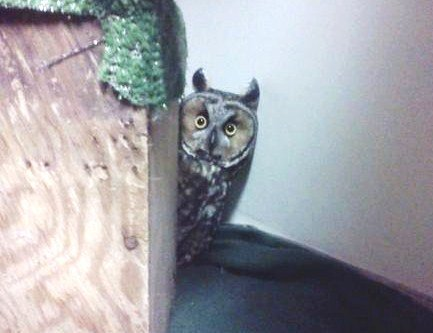 Long eared owl patient