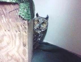 Long eared owl patient