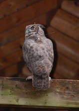 Owl with Transmitter