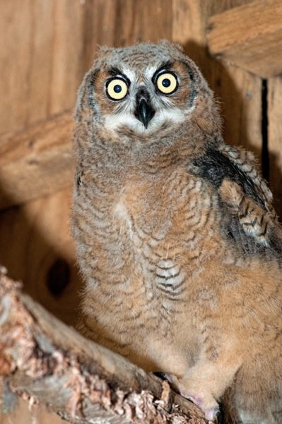 Great horned owlet juvenile