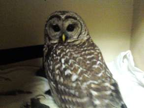 Barred owl recovering from head trauma