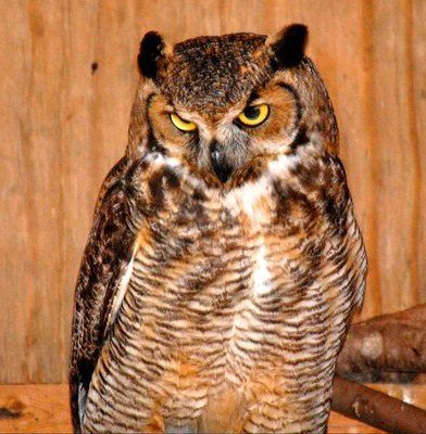 Great-horned owl patient