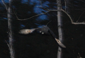 Owl flies successfully into the night