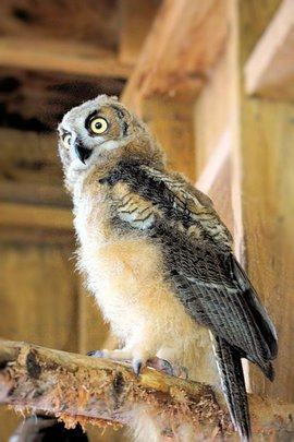 Owlet Perches- Potential Transmitter Candidate