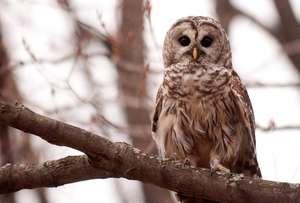 Barred owl patient post-release