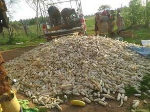 Women taking corn to sell in their businesses