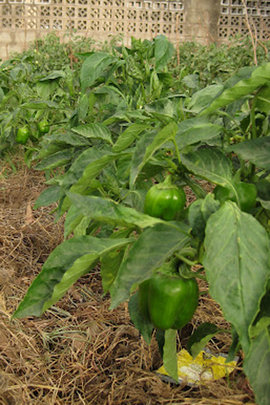 Peppers ready to be harvested