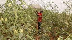 samuel harvesting tomatoes