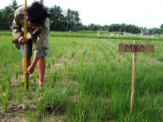 Rice Varietal Adaptability Trials in Bohol