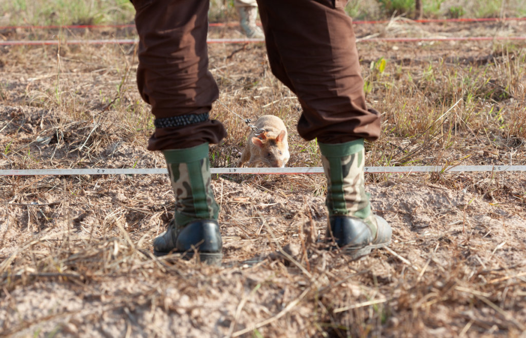 A Landmine Detection Rat (photo Allan Staley)