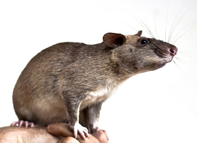 The HeroRATs save thousands of lives