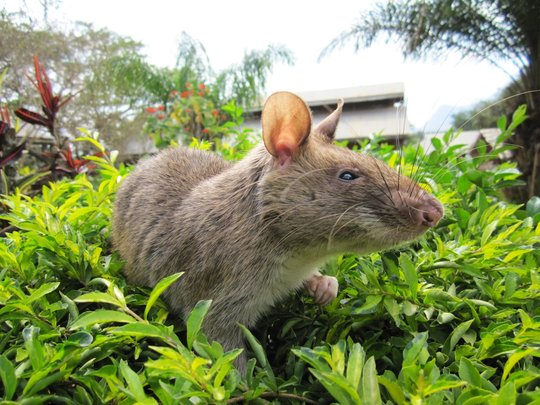 A HeroRAT plays after training
