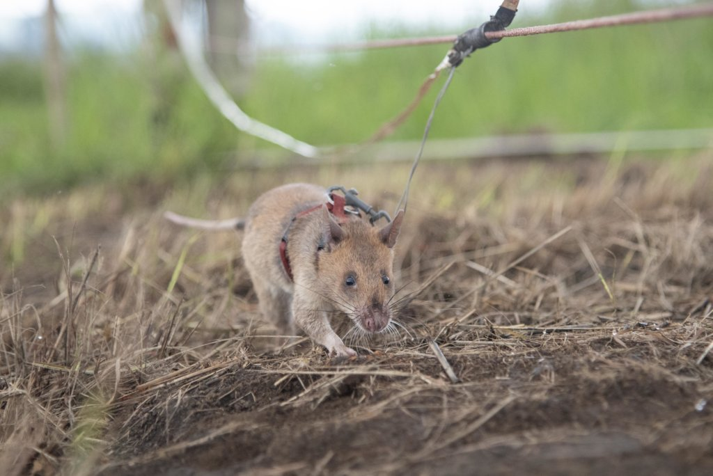 An Angola HeroRAT in the field.