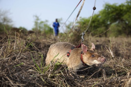 Enter the HeroRATs!