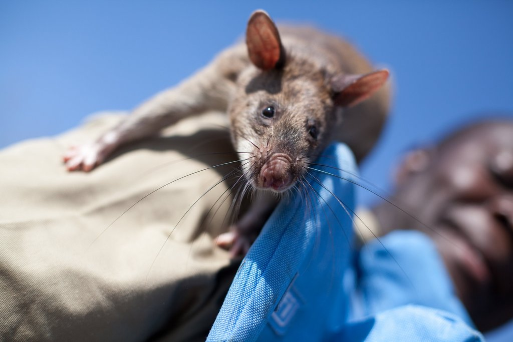 A mine detection rat working in Angola