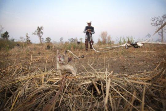 Brave HeroRAT saving lives in Cambodia