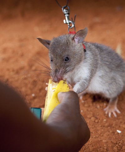 Banana treat for a young HeroRAT-in-training