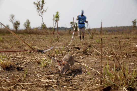 APOPO's HeroRATs are working hard in Angola.