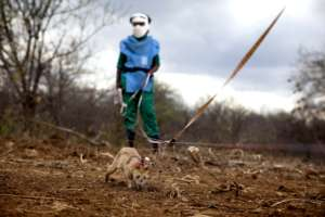 Mine detection rats speed up clearance operations