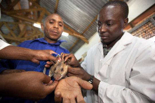 The rats get regular health check ups (wth Shafii)