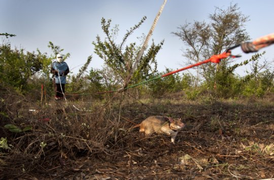 Sniffing out deadly landmines