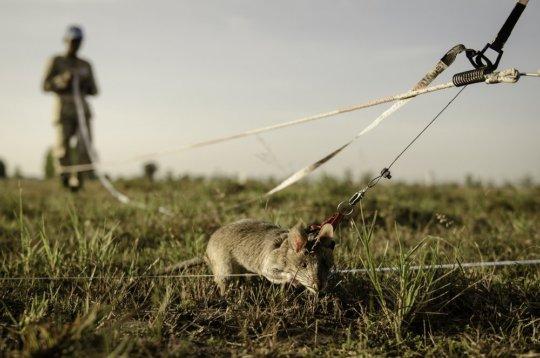 Mine detection rat training in Cambodia