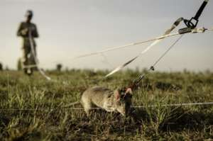 Mine detection rat training in Cambodia