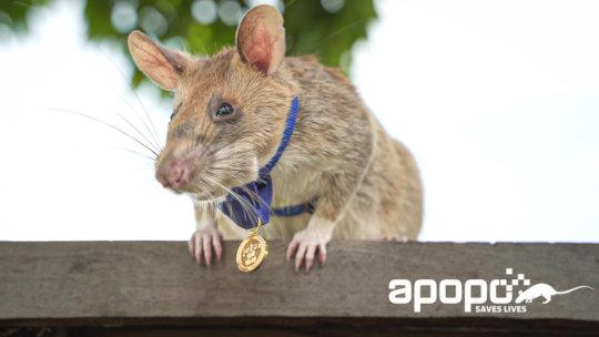 Magawa with his PDSA medal