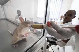 A TB Detection Rat