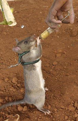 Rat snacking!