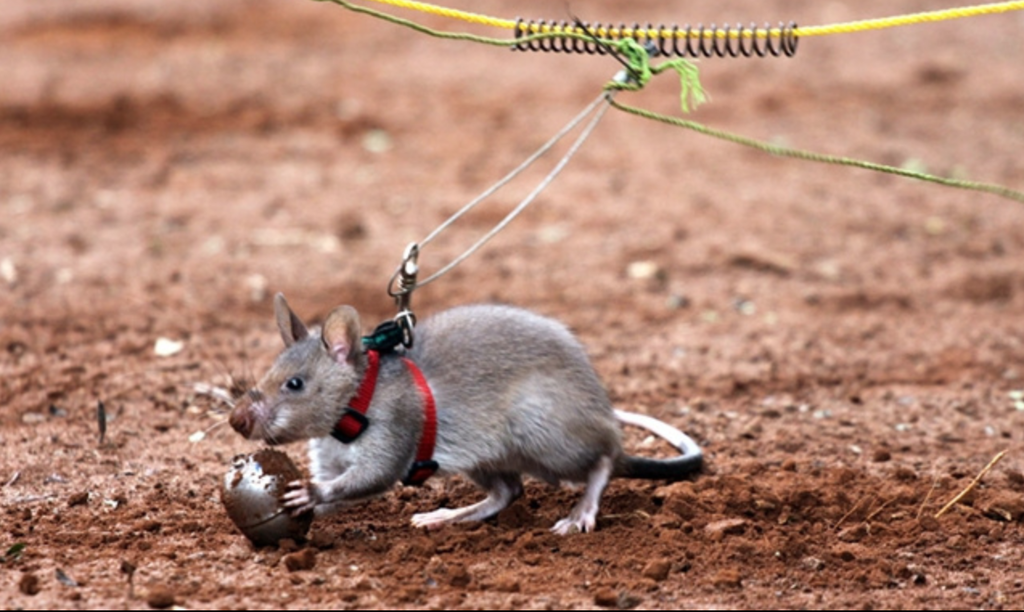 HeroRAT being trained with TNT inside tea eggs