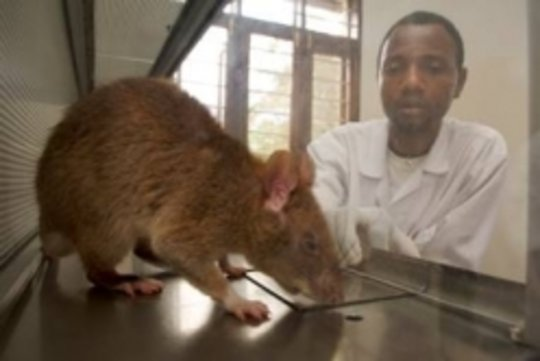 TB Detection rat in action