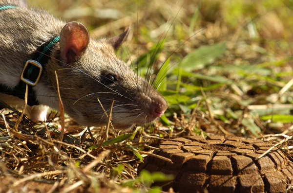 Support APOPO's rats in their life-saving missions