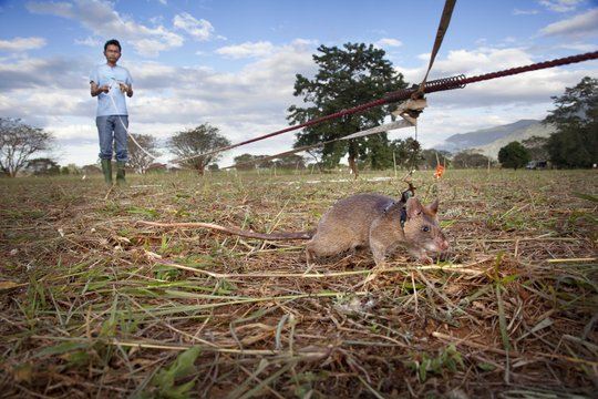 Support APOPO's rats in their life-saving missions - Give Relief