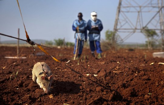 A mine detection rat at work in Mozambique