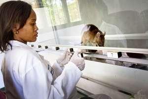 TB detection rat at work