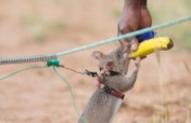 Train HeroRATs for life-saving detection missions