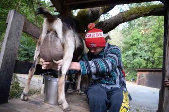 Milk those goats!