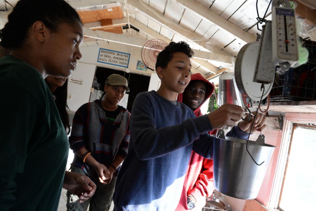 Teamwork While Weighing Goat Milk