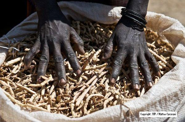 Just Harvested Sorghum in Uganda
