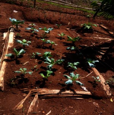 Violet's vegetable garden